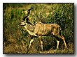 link-kudu.jpg (5247 bytes)